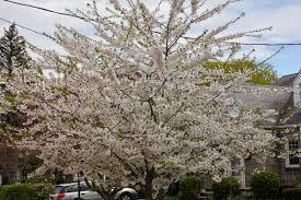 gardening and gardens flowering trees of spring