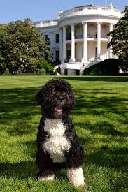 Obama Dog Meme - bo dog wikiwand