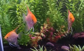 offerhut lk ornamental fish sri lankan best offer 582017 05 22 04 12 14511 jpg
