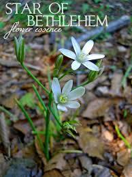 of bethlehem flower of bethlehem one willow apothecaries