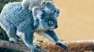 bbc earth kill australia u0027s koalas
