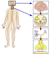 Anatomy Structure Of Human Body Somatic Nervous System Wikipedia