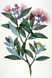 native plants of the sydney region about sydney parkinson botanical art u0026 artists