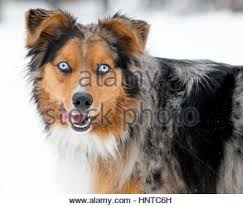 australian shepherd with blue eyes australian shepherd black tri and blue merle puppies 6 weeks