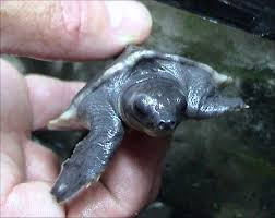 Blind Turtle Prices 8 000 Baby Pig Nosed Turtles Rescued In Indonesia Realclear