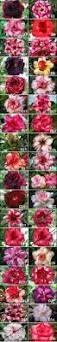 new rosy adenium thailand cheap desert rose plant for sale