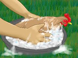 Backyard Poultry For Sale by How To Take Care Of Chickens With Pictures Wikihow
