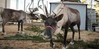 san francisco zoo u0027s reindeer games visit california