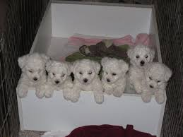 bichon frise puppy 8 weeks frosty bichons bichon frise puppies available 1 and 3 boys