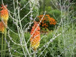 red poker and butterfly weed u2013 little backyard world