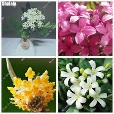 bonsai murraya paniculata seeds fragrant flower seeds