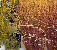 curly willow branches curly willow branches the los angeles flower market