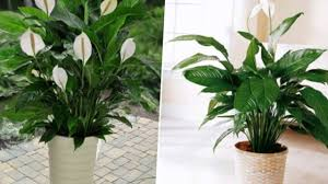 10 popular indoor houseplants that purify air youtube