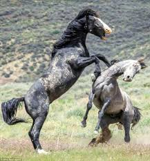 black mustang horse photographs show two stallions fighting in colorado daily mail