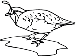 quail bird coloring page free printable coloring pages