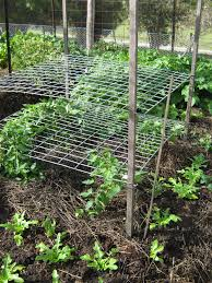 lateral trellis good for growing tomatoes no more tomato cages
