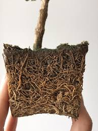 Sqrt 261 The Roots Of A 3 Year Old Bonsai Mildlyinteresting