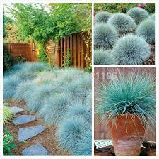 best 25 fescue grass ideas on blue fescue flowerbed