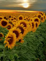 106 best sun flower power images on pinterest flower power