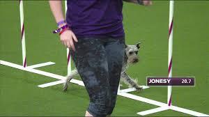 australian shepherd 2015 westminster 2015 westminster agility masters jonesy youtube