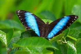 achilles blue morpho butterfly adel b korkor photography