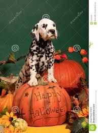 halloween pumpkin image halloween pumpkin and dalmatian dog puppy royalty free stock
