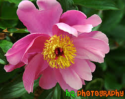 Flower San Jose - close up of pink flower photo