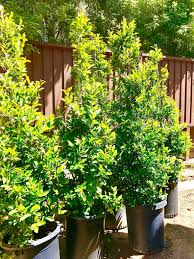 hedging plants budget wholesale nursery carolina cherry laurel prunus caroliana good for privacy hedge