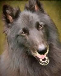 belgian sheepdog tattoo sherlock belgian shepherd dog groenendael sherlock bbc