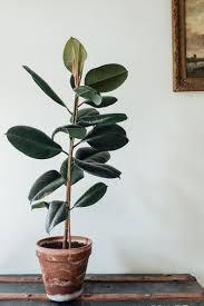 biggest house plants rubber plant rubber plant plant design and plants