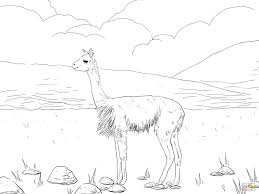 vicunas south american camel coloring page free printable