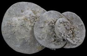 where to buy sand dollars fossil sand dollars for sale fossilera