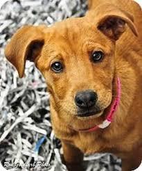 bluetick coonhound rescue georgia atlanta ga black and tan coonhound bluetick coonhound mix meet