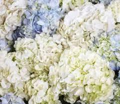 bulk hydrangeas assorted hydrangeas 30 bulk from costco 85 wedding things