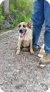 australian shepherd joliet meet caleb an adoptable australian shepherd dog joliet il
