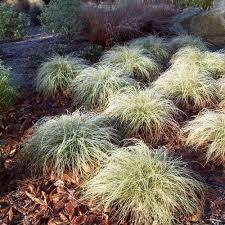 carex frosted curls ornamental grass seeds carex comans