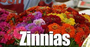 zinnia flower zinnia flowers a plant with many uses and abuses