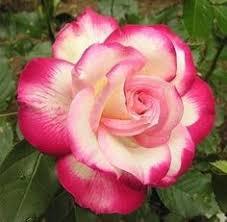 100pcs rose seeds double delight hybrid tea rose bonsai flower