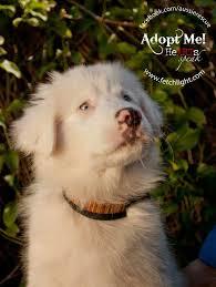 australian shepherd san diego 205 best australian shepherd double merle lethal white images on