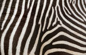pattern formation zebra how the zebra got its stripes and the leopard its spots pacific