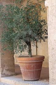 mirtillo in vaso febbraio periodo ideale per piantare in vaso e i bulbi