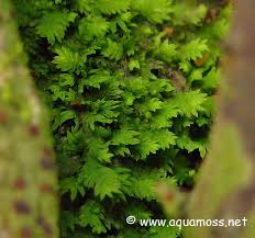 introduction to mosses and aquatic moss info on java moss