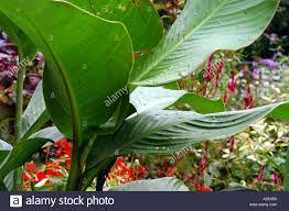 Cana Lilly Cana Lily Foliage With Raindrops Stock Photo Royalty Free Image