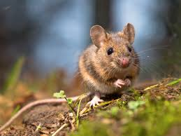 rodent proofing your decking debugged