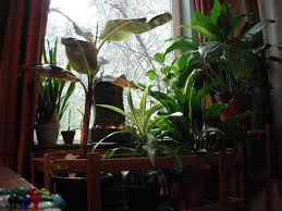 Home Interior Plants by Houseplants In The Healthy Indoor Habitat Habitat Horticulture Pnw