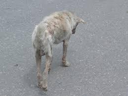 belgian shepherd hair loss ask a vet 5 causes of hair loss in dogs u2013 iheartdogs com
