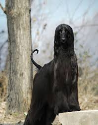 afghan hound group 30 pictures of the noble afghan hounds cutest paw