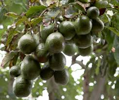 cold hardy avocado trees sale brighter blooms nursery
