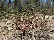manzanita tree manzanita