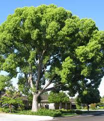 drought tolerant trees chor san diego